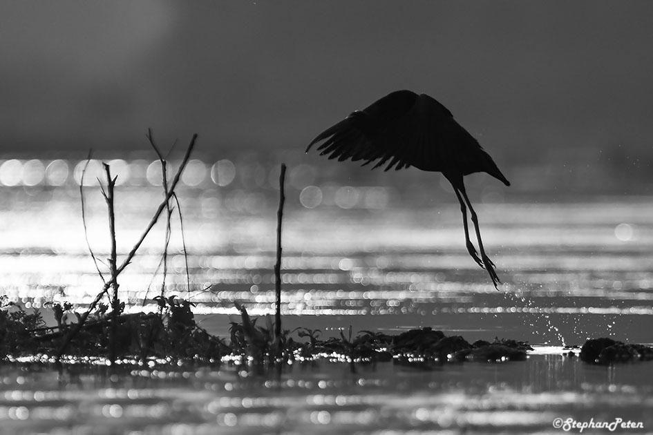 ibisfalcinelleroumanie-04-06-16
