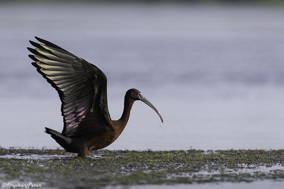 ibisfalcinelleroumanie-06-06-16