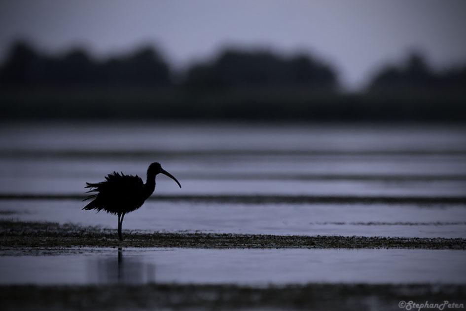 ibisfalcinelleroumanie-14-06-16