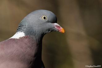 PigeonramierLaHulpe.1.02-11